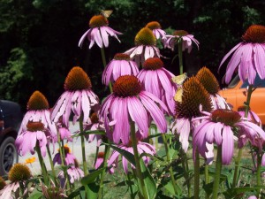 The clerk gave me coneflower seeds that day.